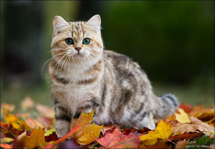 British Shorthair Cat in a Fall Mood (8 pics)