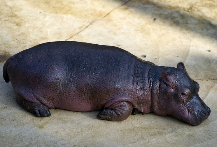 Baby Hippo and Its Mom in Berlin Zoo (17 pics)