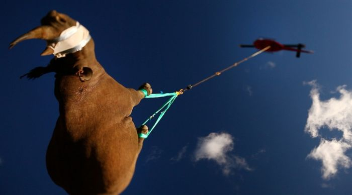 Flying Rhinos (4 pics)