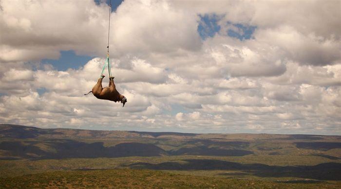 Flying Rhinos (4 pics)