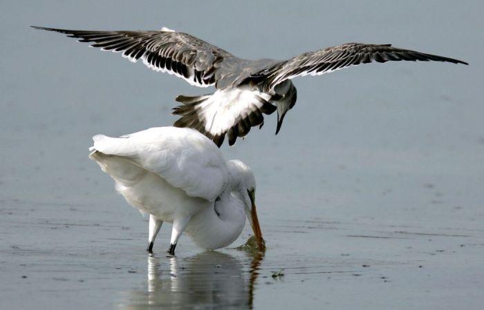 Acrobat Seagull Stealing Dinner (3 pics)
