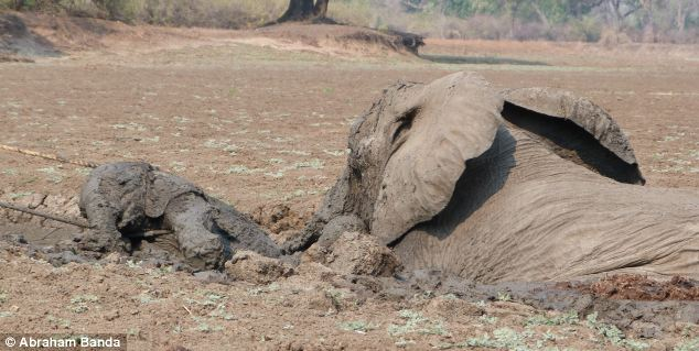Dramatic Rescue of a Baby Elephant and Its Mother (17 pics)