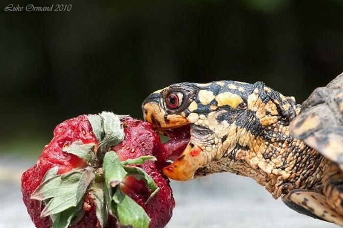 Turtles Eating Things (15 pics)