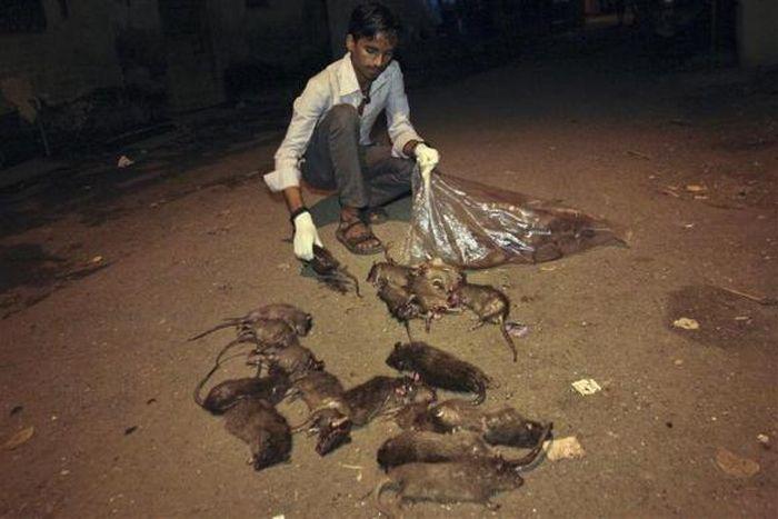Mumbai's Rat-Catcher (15 pics)