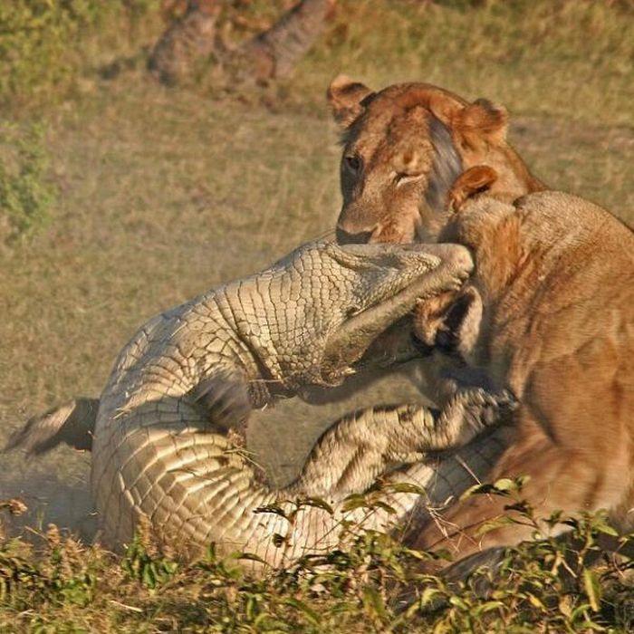 Alligator vs Lions (9 pics)