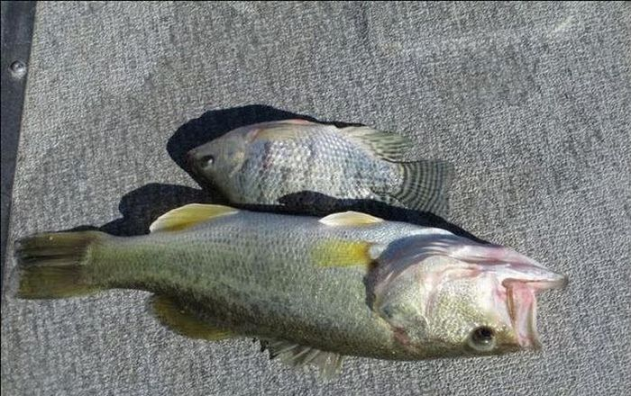 Fish Died While Trying to Swallow Another Fish (4 pics)