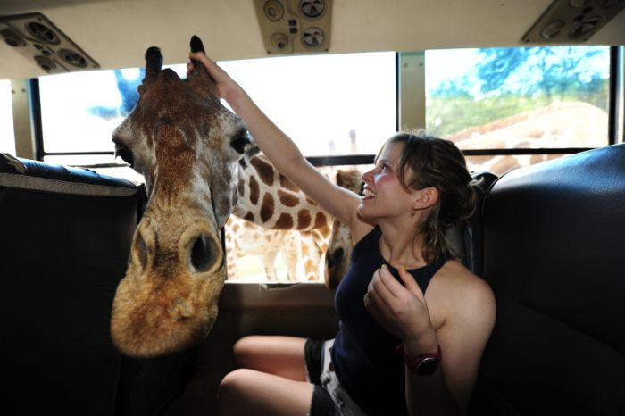 Friendly Giraffe (3 pics)