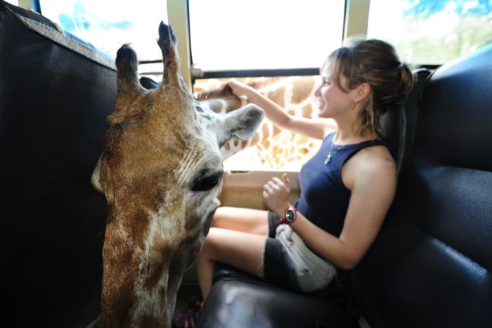 Friendly Giraffe (3 pics)