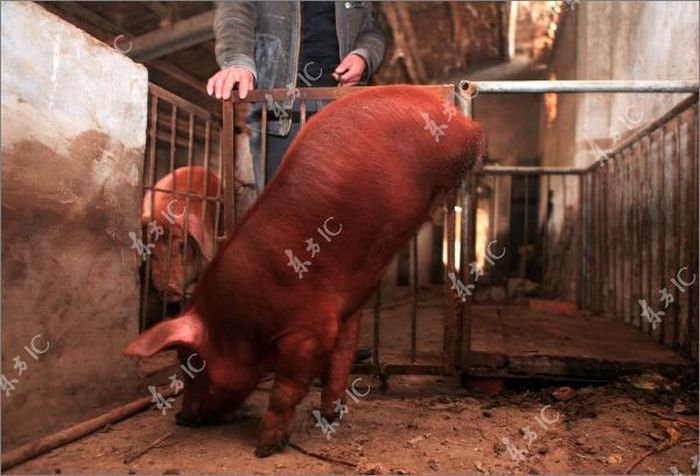 Disabled Pig Learned to Walk on Two Legs (12 pics)
