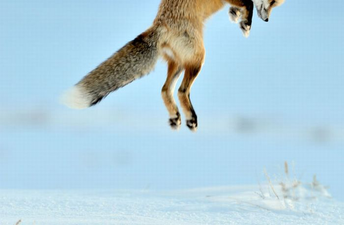 A Fox is Hunting for a Mouse in Yellowstone Park (7 pics)