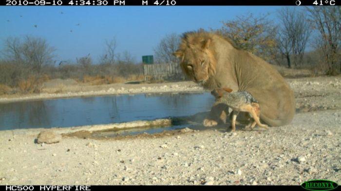 Jackal vs Lion (10 pics)