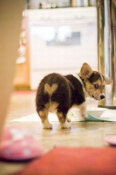 Photos Of Corgi Butts (33 pics)