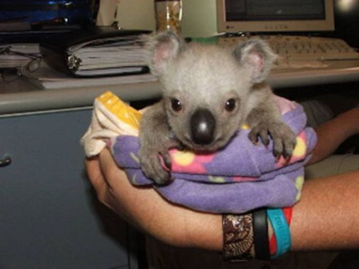 Rescued Baby Koalas (11 pics)