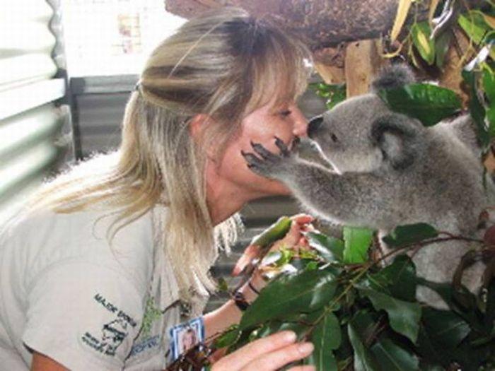 Rescued Baby Koalas (11 pics)