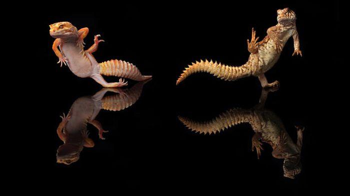 Dancing Geckos (12 pics)