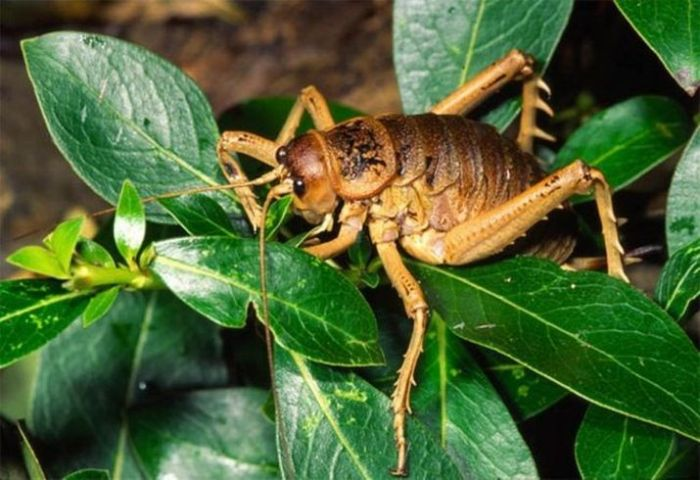 Giant Weta (24 pics + video)