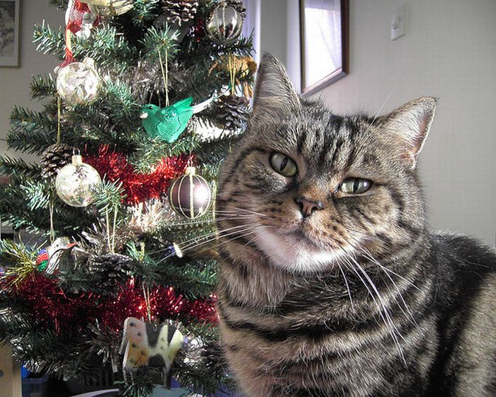 Cats Hate Christmas (20 pics)