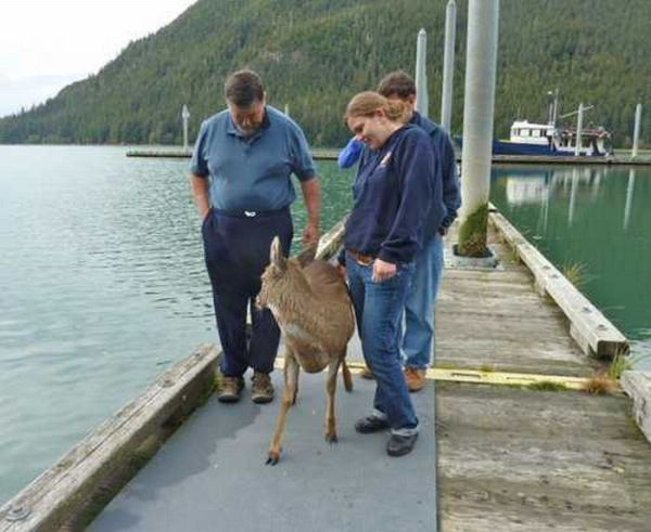 Four Deer Saved from Alaskan Sea Passage (4 pics)