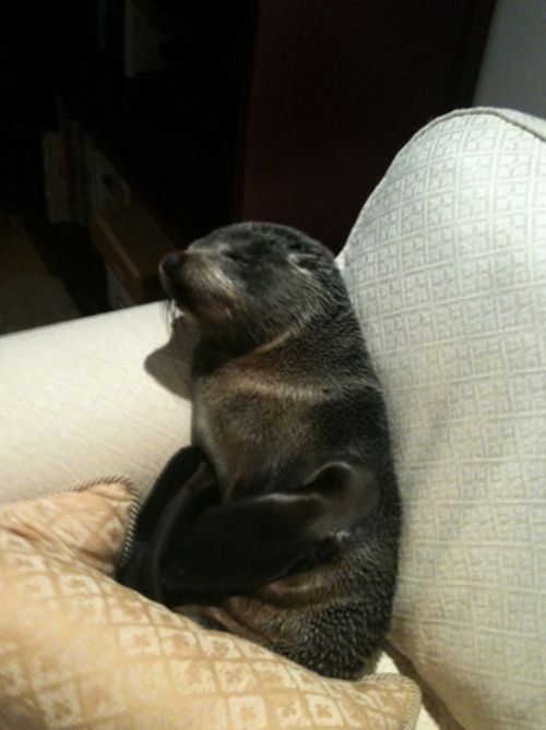 Baby Seal Occupies a House (7 pics)