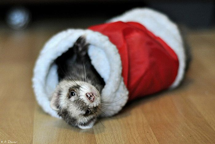 Cute Animals Dressed For Christmas (30 pics)