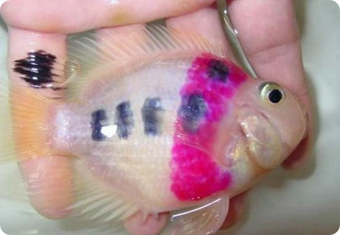 New Trend from China - Gold Fish with a Tattoo (11 pics)