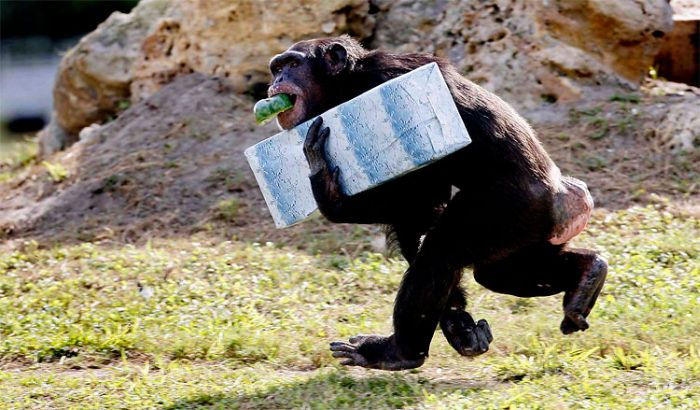Christmas Presents for Chimps (11 pics)