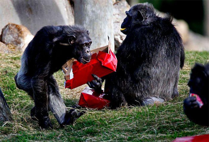 Christmas Presents for Chimps (11 pics)