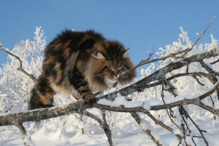 Siberian Cat Amur Ezra (15 pics)