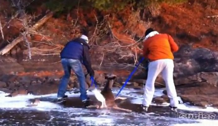 Deer Rescued From Frozen Lake in Canada (7 pics + video)