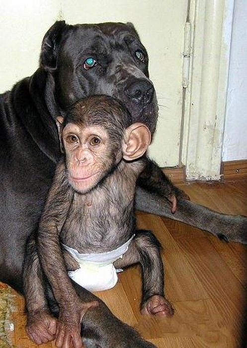 Chimpanzee Baby Adopted by a Mastiff Dog (30 pics)