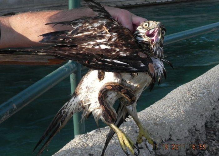 What an Amazing Story. Falcon vs Snake (8 pics)
