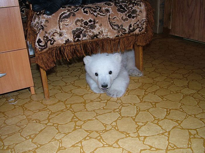 Only in Russia. Polar Bear Cub Lives in an Apartment (18 pics)