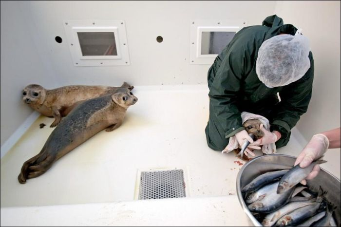 Baby Seals Rescued (9 pics)