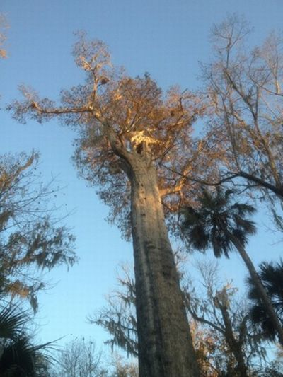 World's 5th Oldest Tree Destroyed by Fire (18 pics)