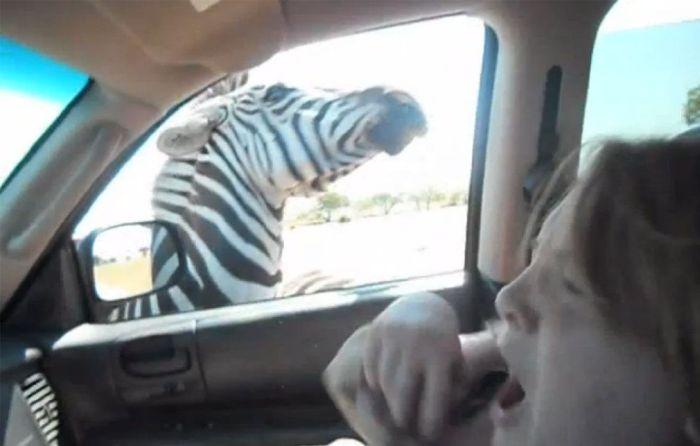 Zebra vs Girl (11 pics)