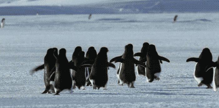 Penguin Gifs (25 gifs)