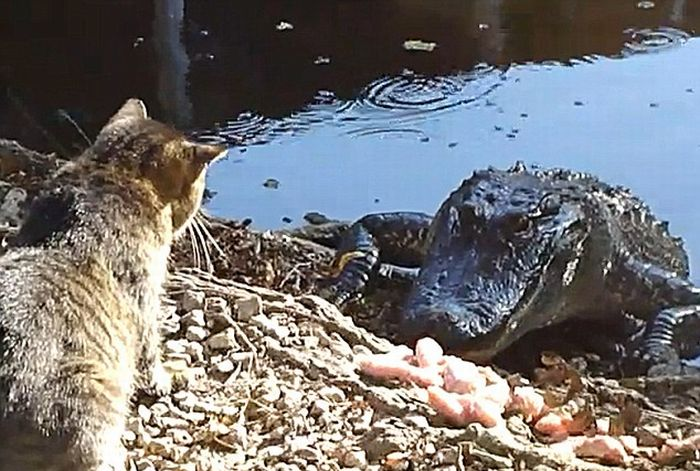 Cat vs. Alligator (4 pics + video)