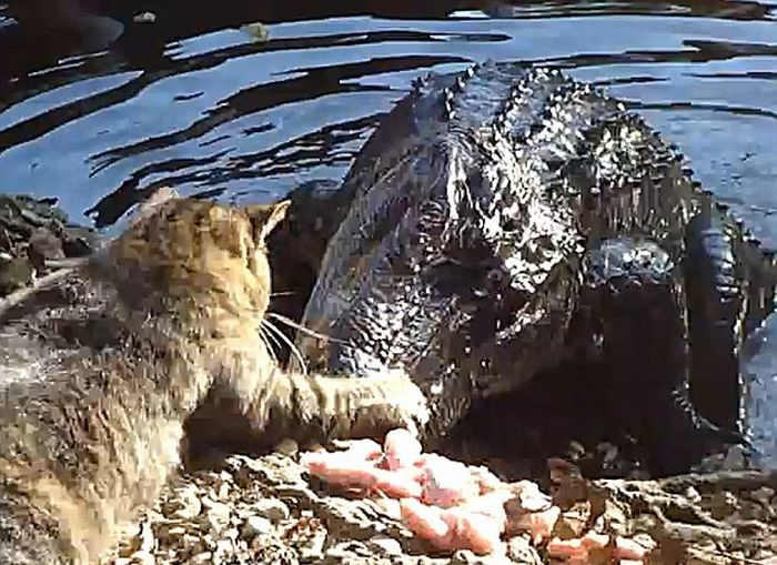 Bravest Chicken Ever: Cat Vs. Alligator (4 Pics + Video