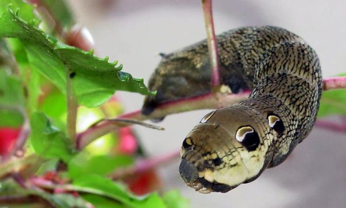 Caterpillar Looks Like a Snake (2 pics)
