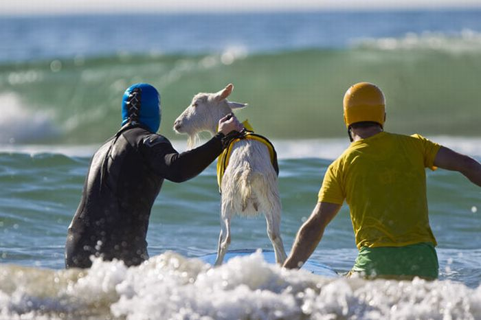 The Surfing Goat (13 pics)