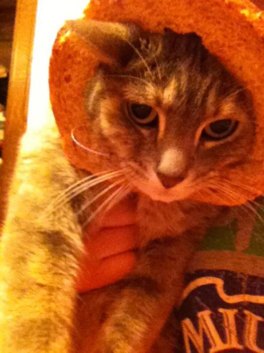 Bread on Cat (60 pics)