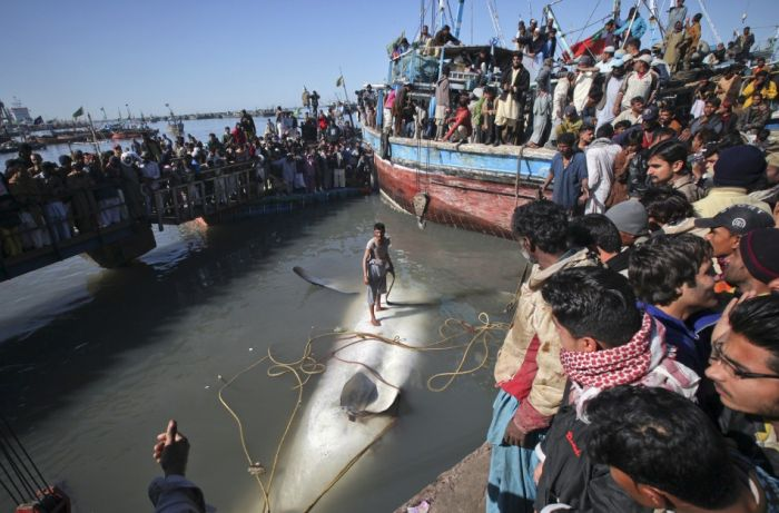 Giant Whale Shark Caught in Pakistan (8 pics)