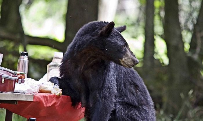 Black Bear Stole Lunch (6 pics)