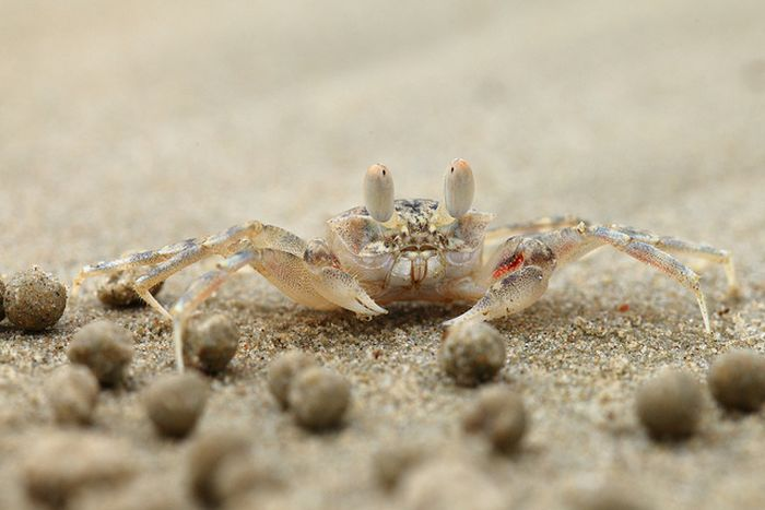 The Crabs that Build Their Own Galaxy (20 pics)
