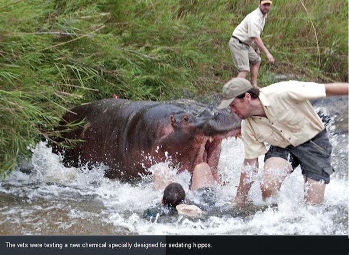 Hippo Almost Killed a Vet (3 pics)
