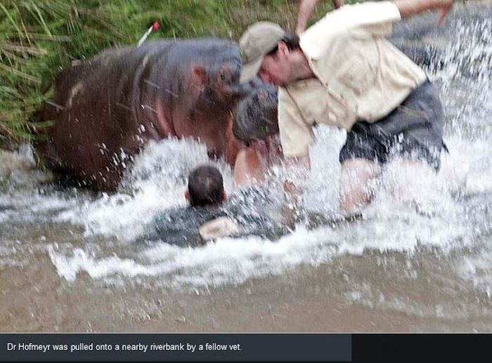 Hippo Almost Killed a Vet (3 pics)