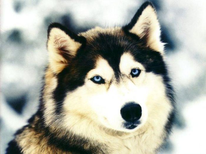 Husky Dogs (47 pics)
