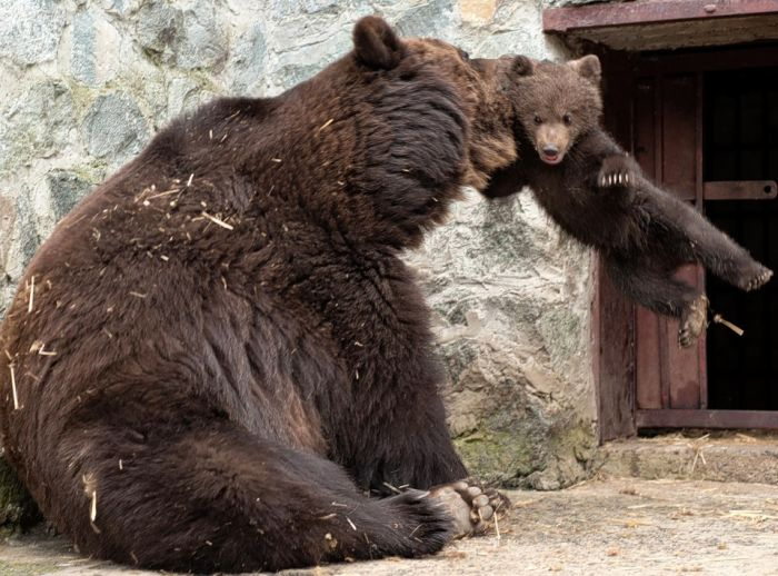 Mother Bear Angry at Her Cub (4 pics)