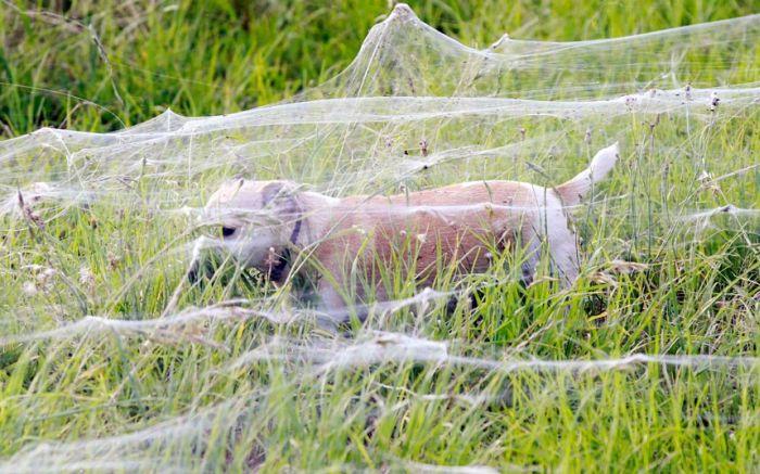 Spiders Invade Australia (8 pics)