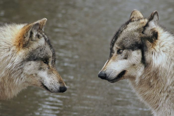 Photos of Wolves (46 Pics)